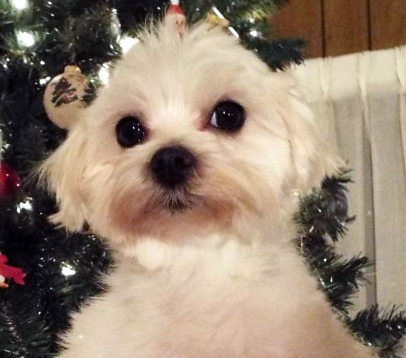 Maltese Rescue Dogs For Adoption | Beautiful Scenery Photography